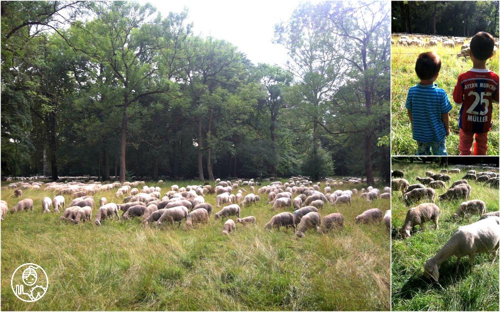 Owce-w-Englischer-Garten